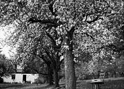 cherry tree / kirschbaum